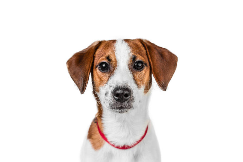 Download Jack Russell Terrier Puppy In Red Collar Standing On A Chair On A  White Background
