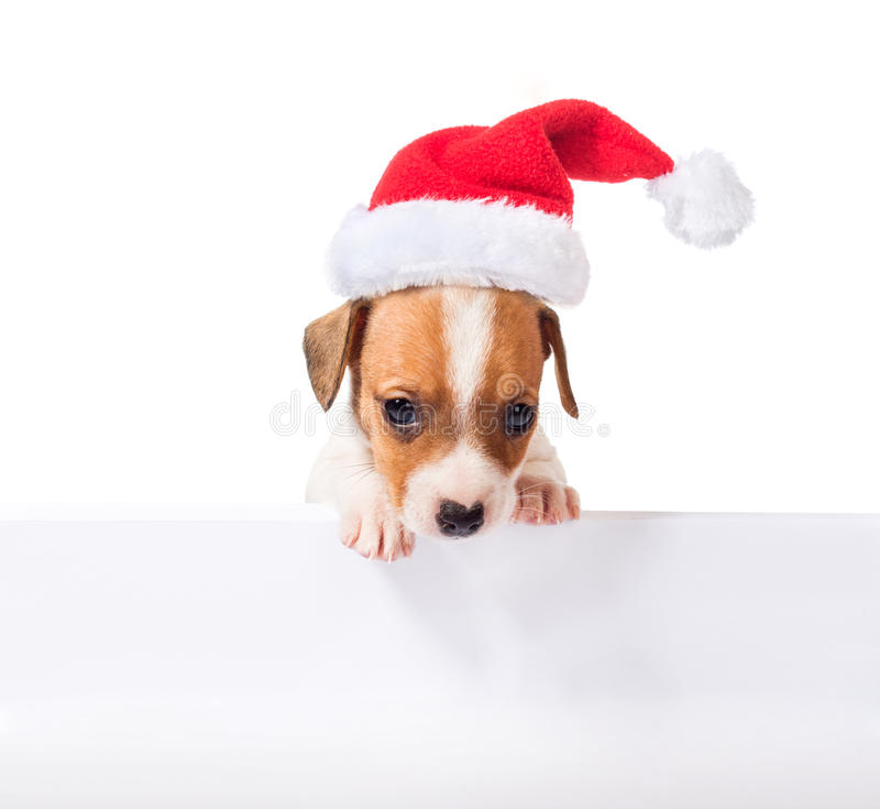 Jack Russell Terrier puppy in red santa cap stock photography
