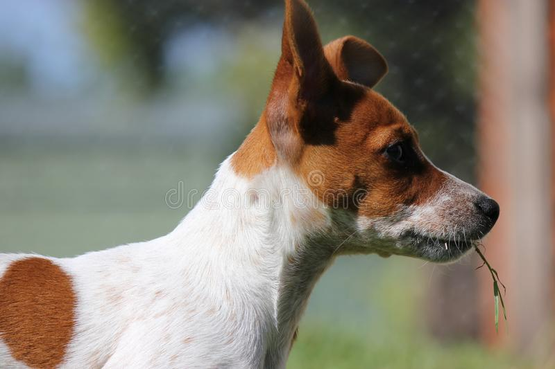 Jack Russell Terrier Puppy side view One Floppy Ear. Dog Portrait side on of a white and tan small Jack Russell Terrier puppy showing his unique one pointy one stock photo