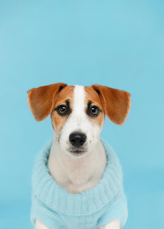 puppy sitting on the wooden floor on blue wall portrait royalty free stock photo