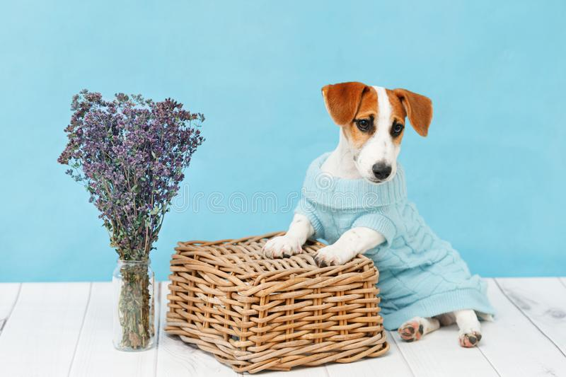 Jack Russell Terrier puppy sitting on the wooden floor. On blue wall portrait royalty free stock photos