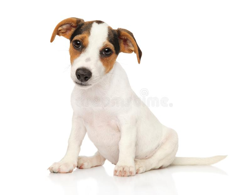 Jack Russell terrier puppy on white. Jack Russell terrier puppy sits on white background. Funny dog royalty free stock photo