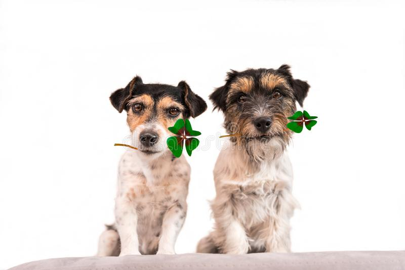 Jack Russell Terrier que lleva el trébol de cuatro hojas fotografía de archivo