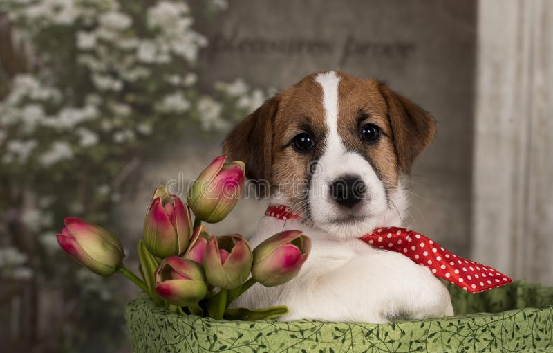 Jack Russell Terrier s'est habillé dans un lien et avec un bouquet des tulipes photo libre de droits