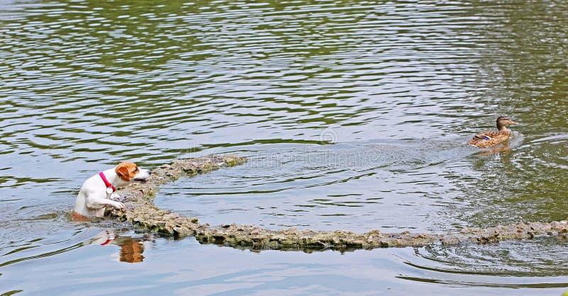 Jack Russell Terrier saute sur une île pour saisir un canard qui flotte à partir de lui photos libres de droits