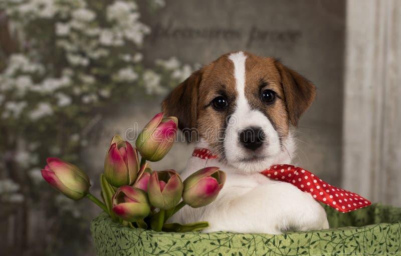 Jack Russell Terrier se vistió en un lazo y con un ramo de tulipanes foto de archivo libre de regalías