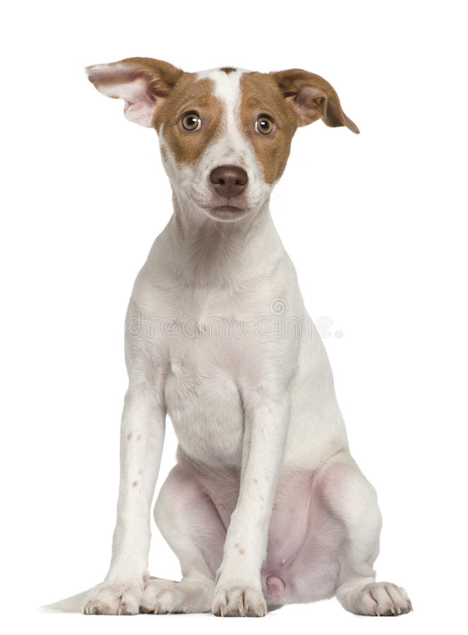 Jack Russell Terrier sitting stock image