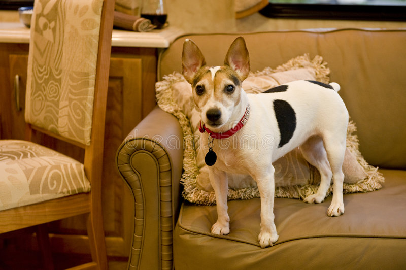 Download Jack Russell Terrier On Sofa Stock Photo - Image: 4673914