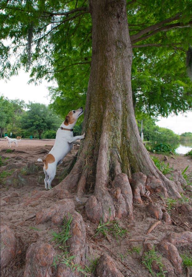 Jack Russell Terrier som ser upp in i ett träd royaltyfria foton