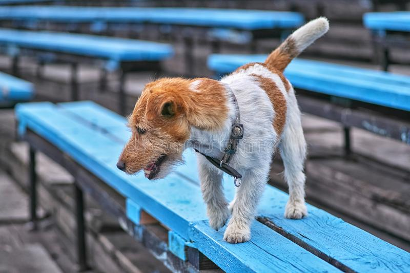 Jack Russell Terrier står den skämtsamma hunden på en bänkcloseup arkivfoto