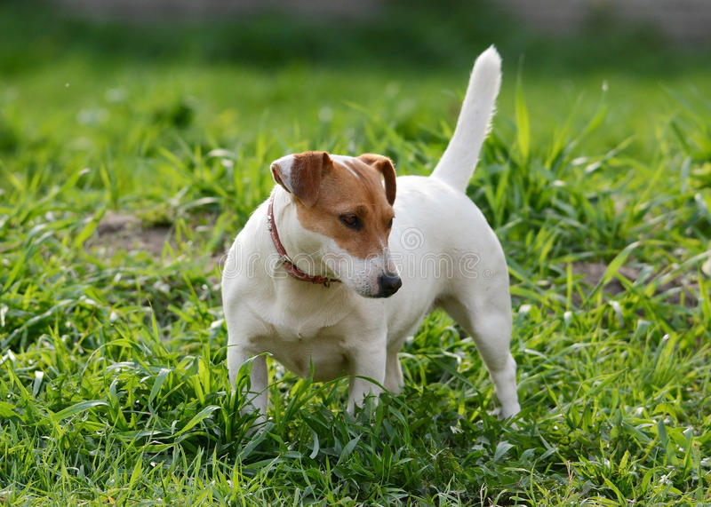 Jack Russell Terrier stand in grass summer royalty free stock photo