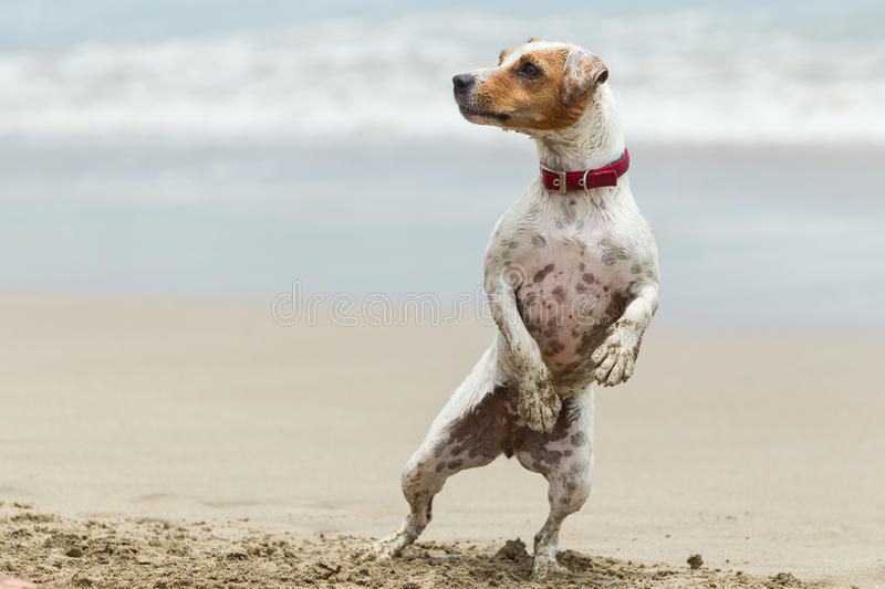 Jack Russell Terrier Stand Up image libre de droits