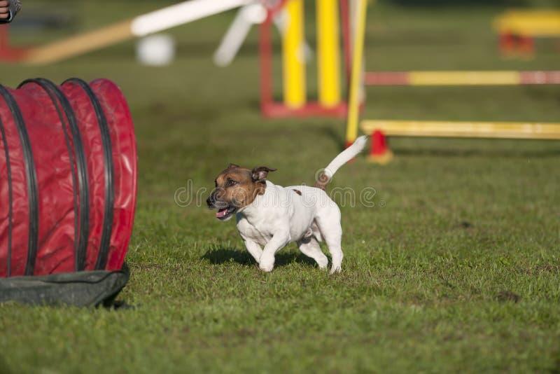 Jack Russell Terrier sulla concorrenza di agilità fotografia stock