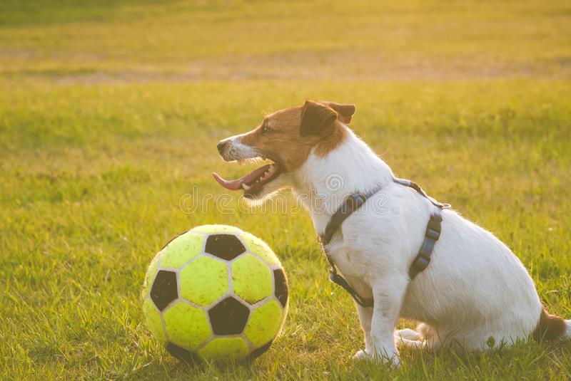 Happy dog with a ball sitting on grass after game stock photos