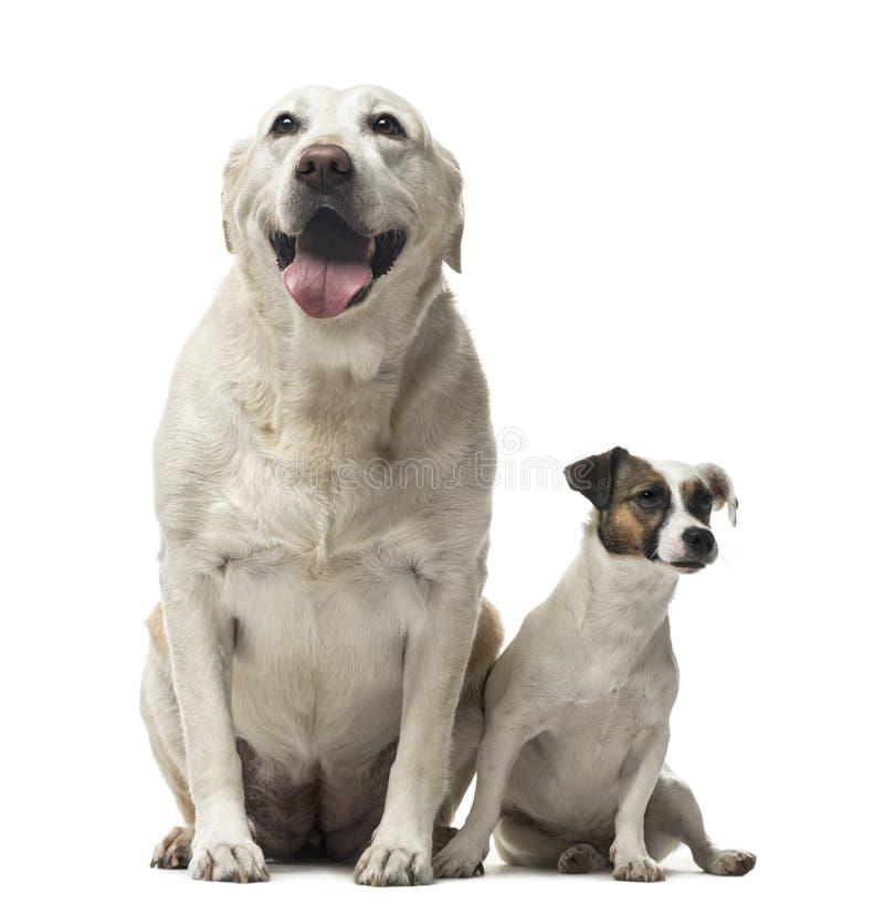 Jack Russell Terrier und ein Labrador retriever-Sitzen lizenzfreies stockbild