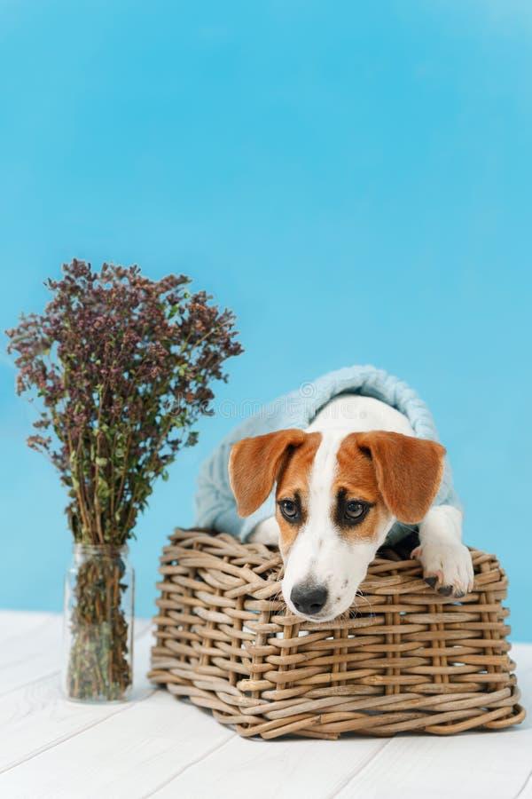 Jack Russell Terrier valp som sitter på trägolvet arkivfoto