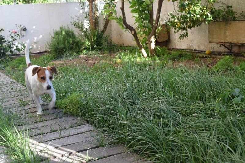 Jack Russell Terrier w jardzie obraz royalty free