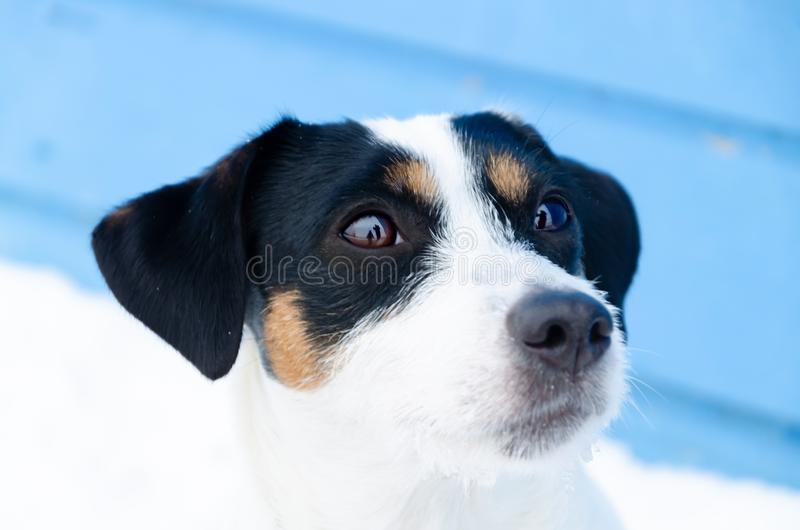 Jack Russell Terrier. Walking outdoors in the winter. Beautiful closeup portrait. royalty free stock photo