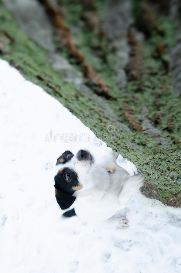 Jack Russell Terrier. Walking outdoors in the winter. Beautiful closeup portrait. stock photography