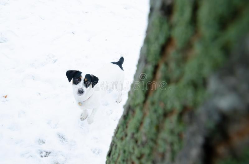 Jack Russell Terrier. Walking outdoors in the winter. Beautiful closeup portrait. stock images