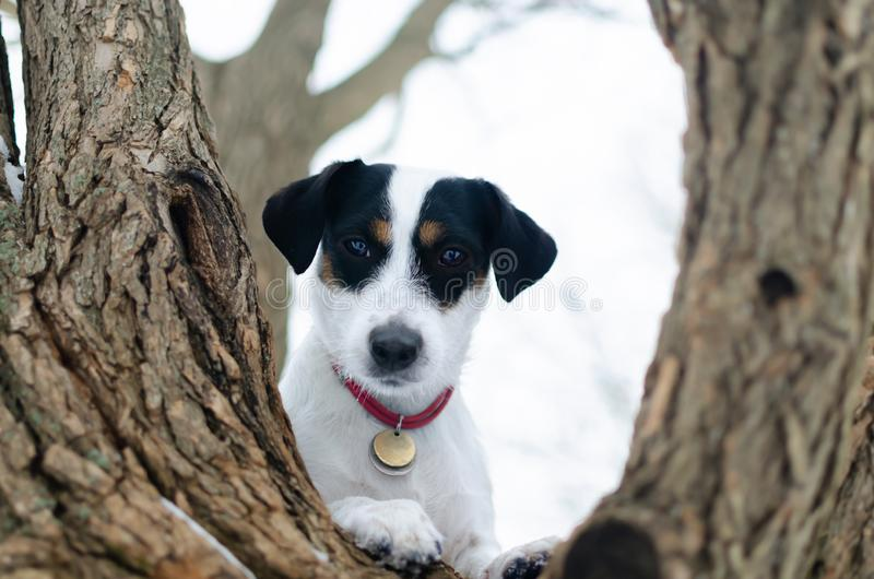 Jack Russell Terrier. Walking outdoors in the winter. Beautiful closeup portrait. stock photo