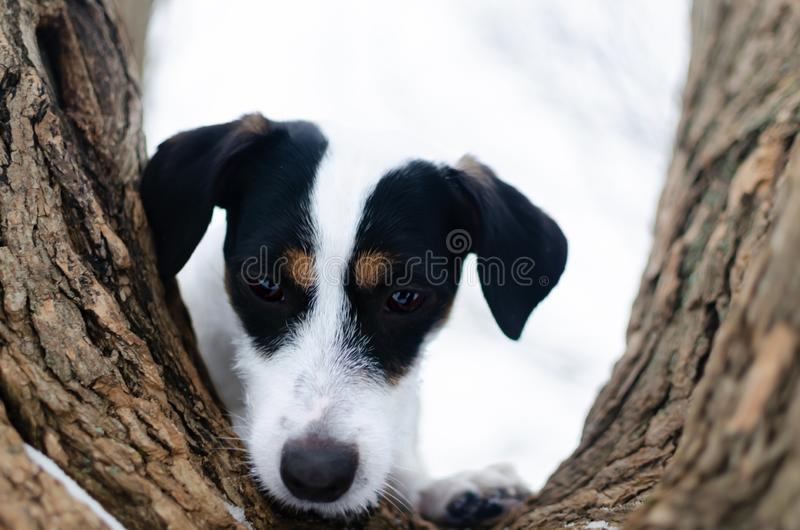 Jack Russell Terrier. Walking outdoors in the winter. Beautiful closeup portrait. stock image