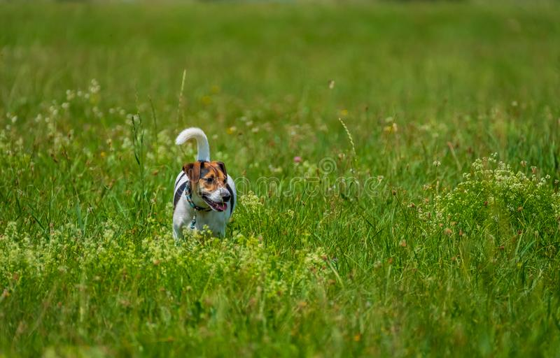 Jack russell terrier walks in the summer stock image