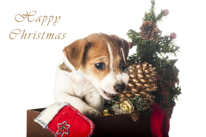 Jack Russell Terrier-Welpe, der Weihnachtskiefernkegel kaut stockfotografie