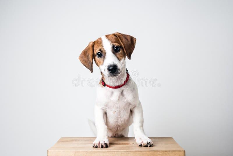 Jack Russell Terrier-Welpe im roten Kragen, der auf einem Stuhl auf einem weißen Hintergrund steht stockfotografie