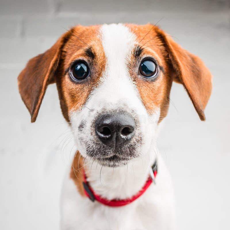 Jack Russell Terrier-Welpe im roten Kragen, der auf einem Stuhl auf einem weißen Hintergrund steht stockbild