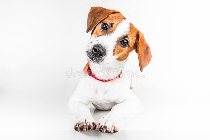 Jack Russell Terrier-Welpe im roten Kragen, der auf einem Stuhl auf einem weißen Hintergrund steht lizenzfreie stockfotografie