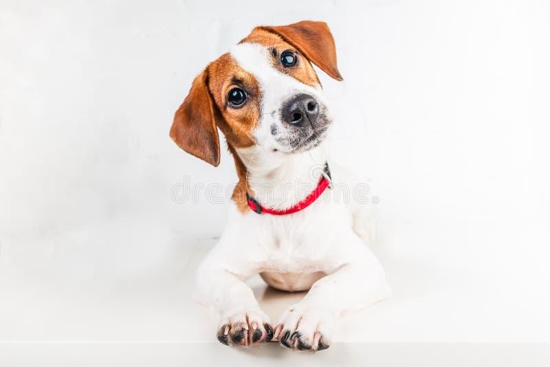 Jack Russell Terrier-Welpe im roten Kragen, der auf einem Stuhl auf einem weißen Hintergrund steht stockfoto