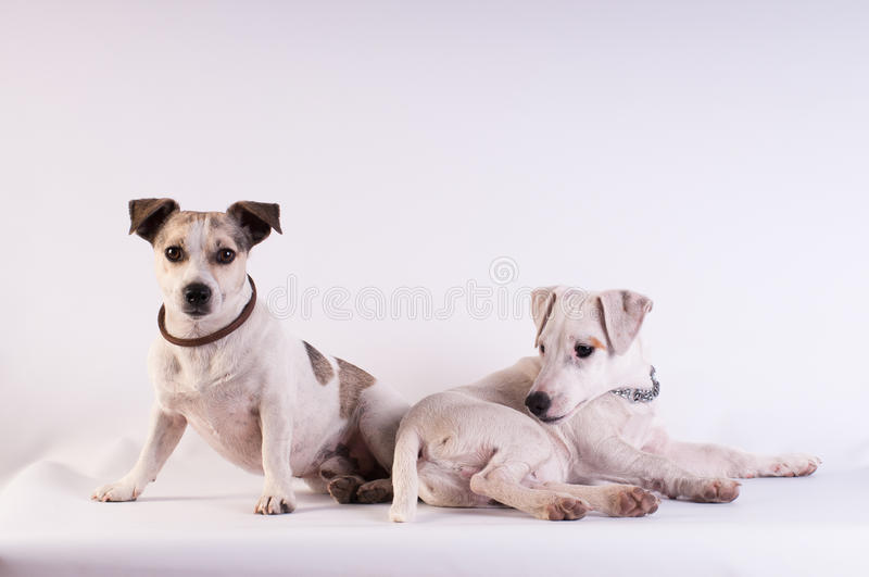 Jack Russell Terriers au studio sur le blanc photo stock
