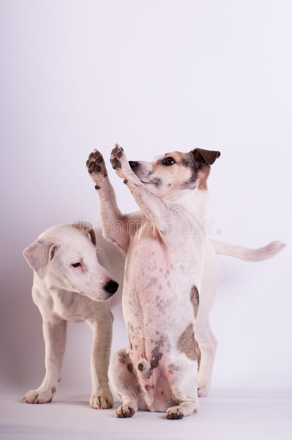 Jack Russell Terriers au studio sur le blanc photo libre de droits