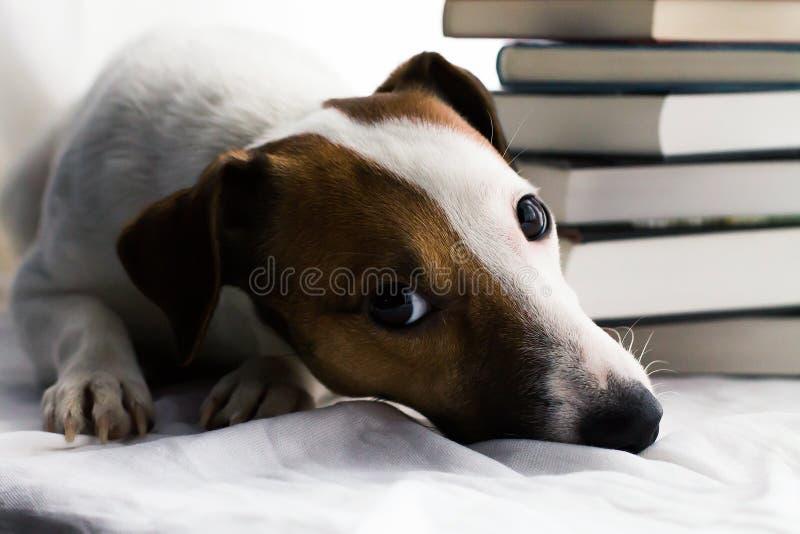 Jack Russell und Bücher stockfoto