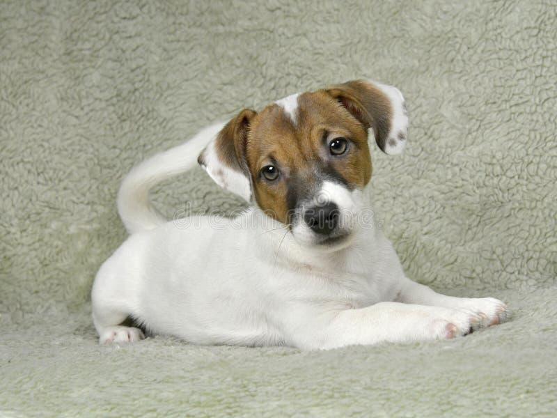 Jack Russell-Welpe der weiß-braunen Farbe sitzt auf der Bettdecke stockfotografie