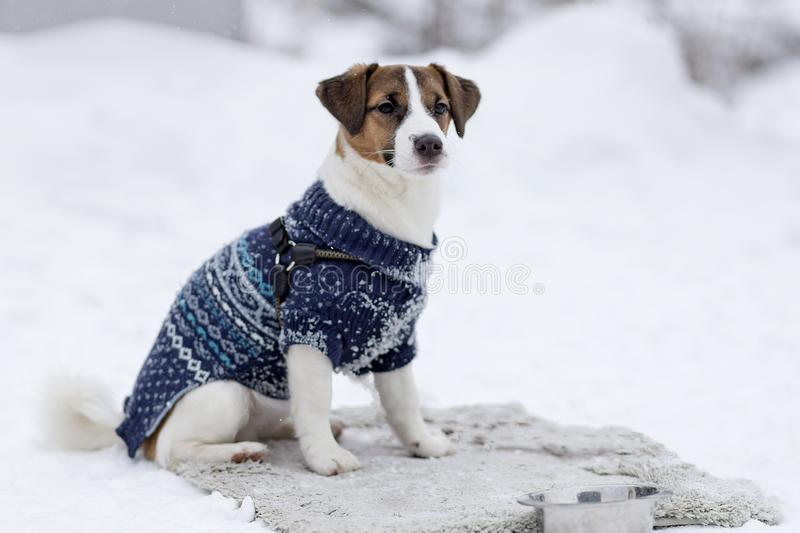 Jack Russell in winter clothes royalty free stock photo