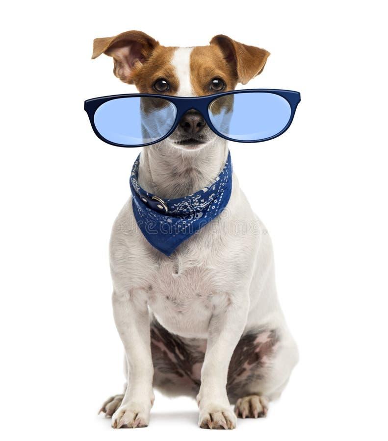 Jack Russell-zitting en het dragen van glazen stock foto
