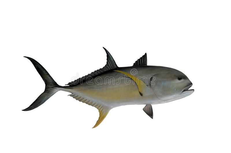 Jack ryba obraz royalty free