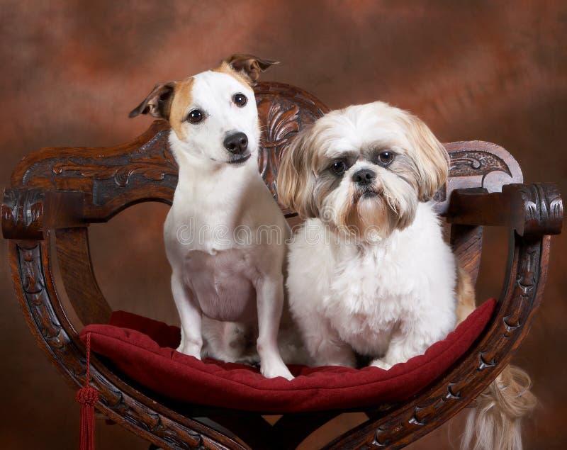 Jack and shih-tzu stock photo