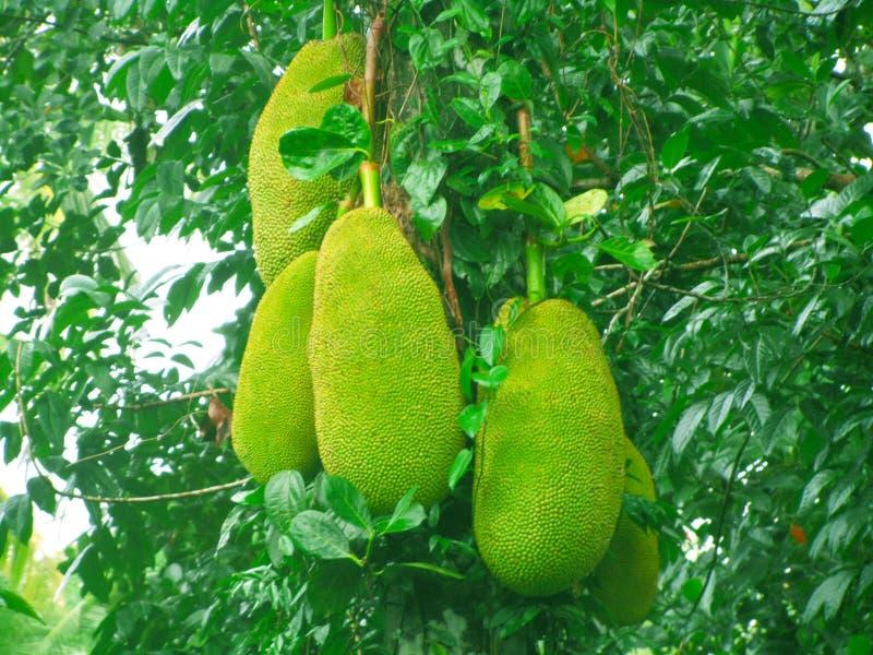Jack sri-lankais , Pays, nourriture, fruit, légume photographie stock libre de droits