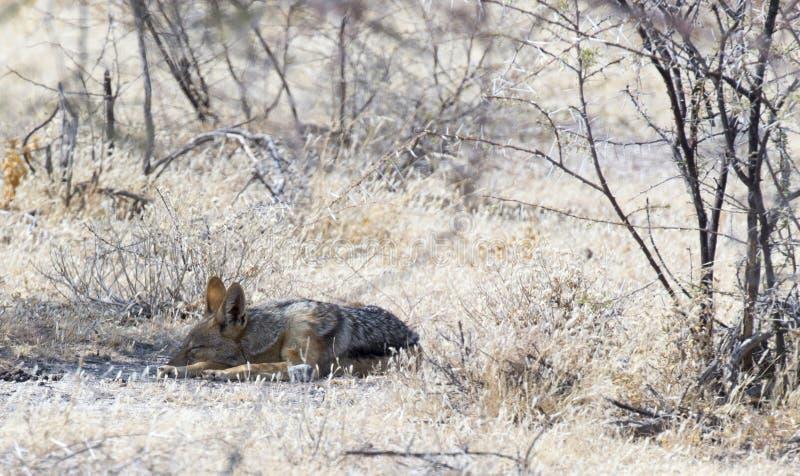 Jackal спать в пустыне стоковая фотография rf