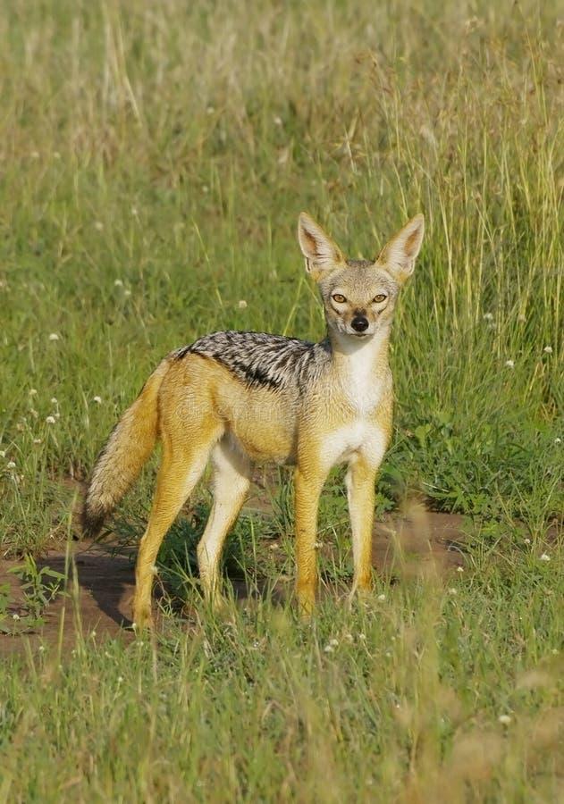 jackal упрощает serengeti Танзанию стоковая фотография