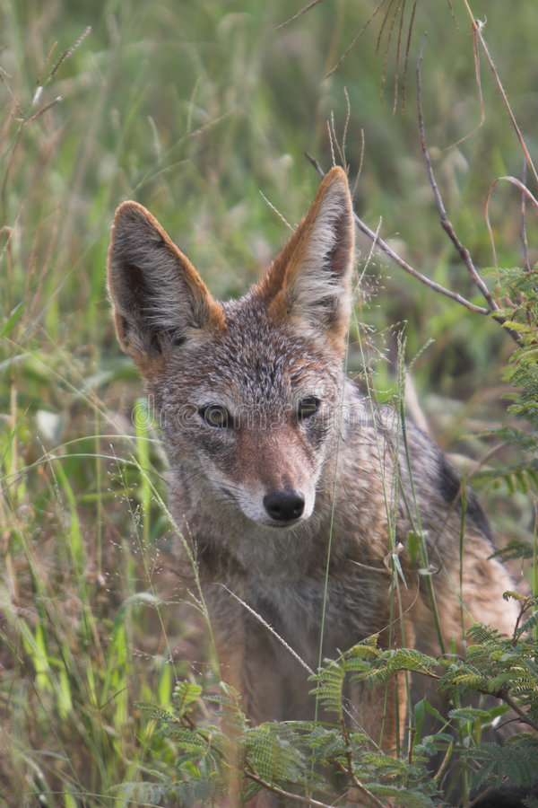 Download Jackal stock photo. Image of ears, jackal, backed, safari - 2300110