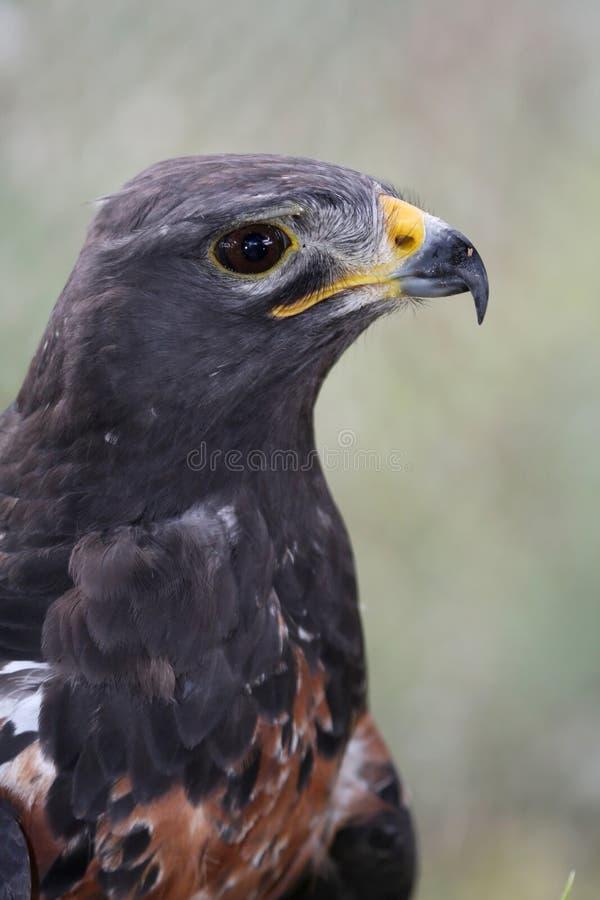 jackal buzzard птицы стоковое фото
