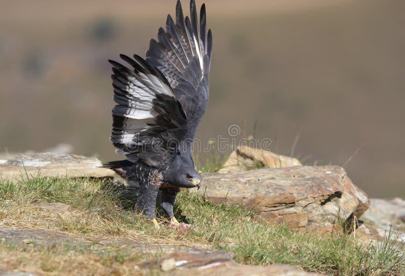 jackal buzzard стоковое фото rf