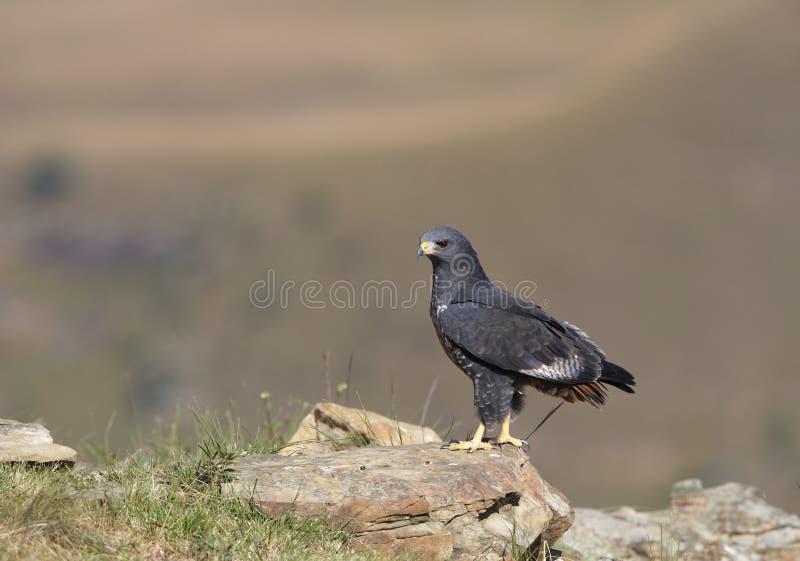 jackal buzzard стоковые изображения rf