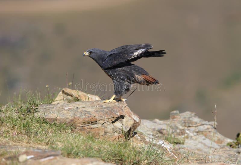 jackal buzzard стоковая фотография