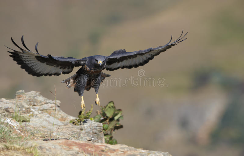 jackal buzzard стоковое изображение rf