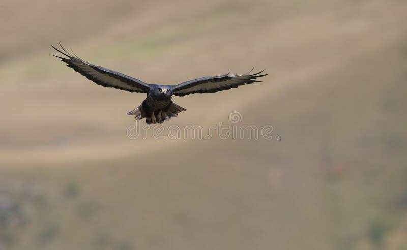 jackal buzzard стоковая фотография rf